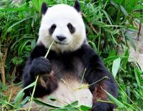 <center><b>Парку развлечений требуется человек-панда</center></b>