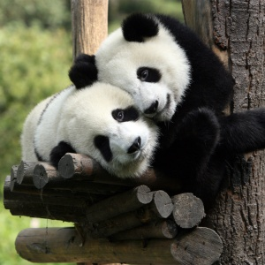 <center><b>Рождение панды стало новым интернет-хитом</center></b>