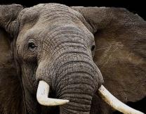 <center><b>Слон украл у туристки сумочку</center></b>
