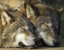 <center><b>Где провести ночь с волками? </center></b>