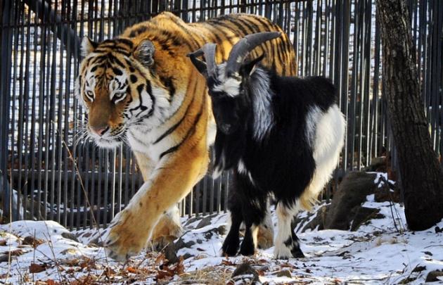 <center><b>Почему тигру нельзя дружить с козлом? </center></b>