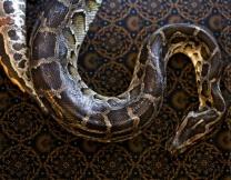 <center><b>Американец ищет вакцину от ядовитых змей необычным способом</center></b>