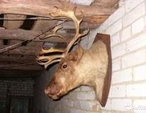 <center><b>Под Мурманском мужчина украл для тёщи чучело лося</center></b>