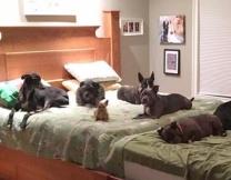 Хозяева построили гигантскую кровать для собак