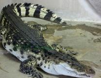 Дама с собачкой дала отпор крокодилу (видео)