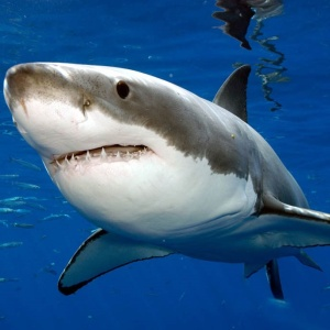 Рыбак с метлой победил огромную акулу (видео)