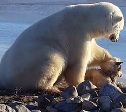 Собака - друг белого медведя (видео)