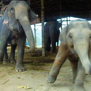 Слоны станцевали под скрипку (видео)