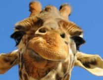 Жирафам галстуки к лицу