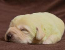 В Великобритании родился зеленый щенок
