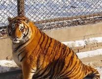 Толстых тигров посадили на диету