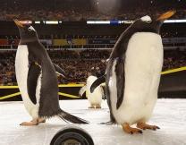 Пингвины посетили хоккейный матч (видео)