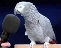 Попугай Эйнштейн перепел Deep Purple (видео)