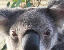 Коалы в Сиднее освоили селфи