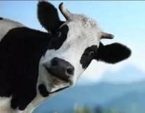 Коровий променад в Сургуте