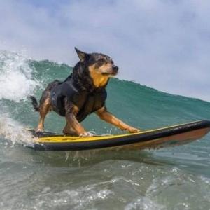 Серфинг по-собачьи (фото)