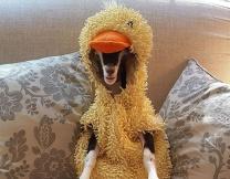 Звезда инстаграма - коза-утка