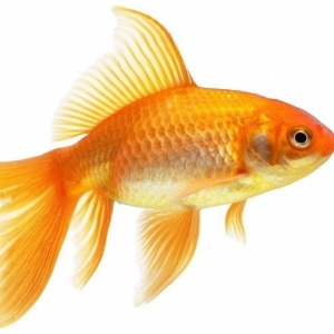 В Бельгии сдают рыбок в аренду