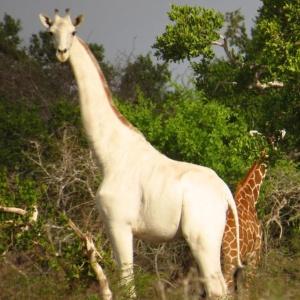 Белые жирафы впервые на видео