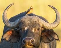 В Таиланде погоняли на буйволах