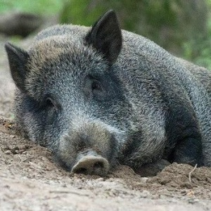 <center><b>Свиньи ведут себя далеко не по-свински</center></b>