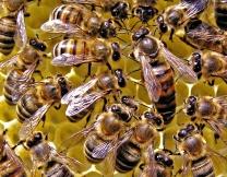Индиец прячет пчел за пазуху, чтобы не мешали работать