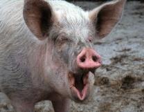 Полиция США задержала приставучую свинью