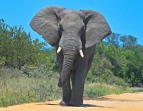 Слоны прогулялись по улицам Питера