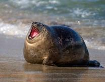 Растолстевший тюлень сел на диету