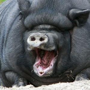 Найдена самая толстая в мире свинья. Хрю!