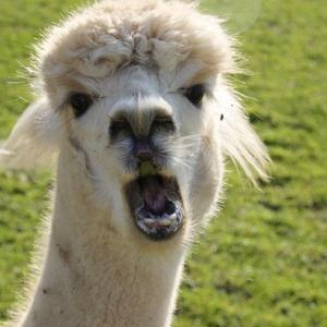 Хит сезона - свадьба с альпакой