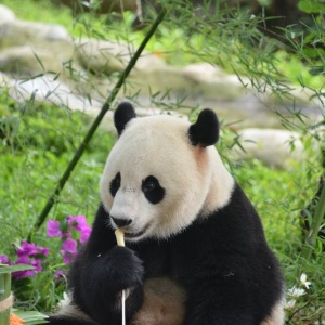 Панду Синь-Синь из Китая накормили тортом