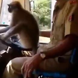 Обезьянка за рулём довела индийца до увольнения