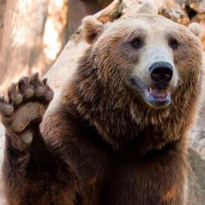 На Аляске выбрали самого толстого медведя