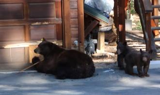 Американцы прогнали медведей игрой на скрипке