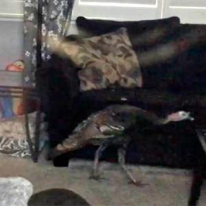Американская птица попалась на краже со взломом