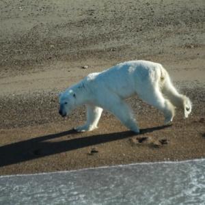 Белого медведя-путешественника отправили домой на вертолете