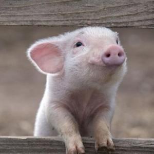 <center><b>В московский сад можно прийти со свиньей</center></b>
