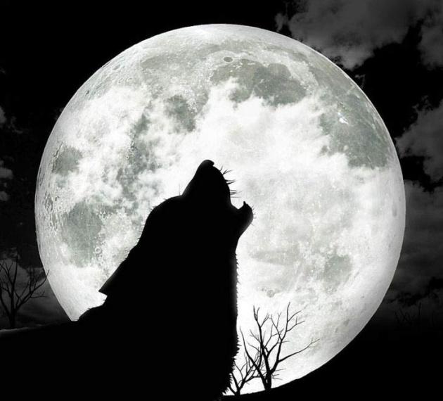 <center><b>Зоопарк извинился за ночной вой волков</center></b>
