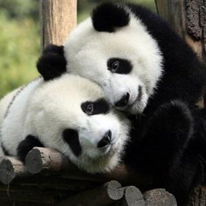 <center><b>Самец панды покорил самку с помощью яблока</center></b>