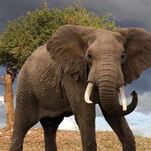 <center><b>Венгерский слон сбежал от белоруса на Украине</center></b>