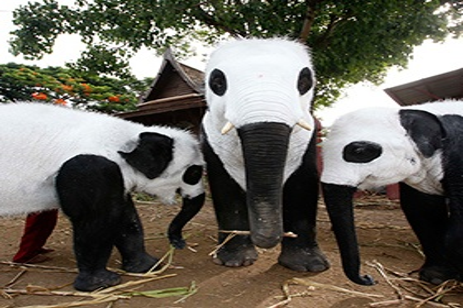 <center><b>Тайцы сделали панд из слонов</center></b>