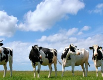 <center><b>Англичанина обманула корова</center></b>