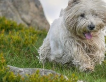 <center><b>Шотландцы ищут собачьего посла</center></b>