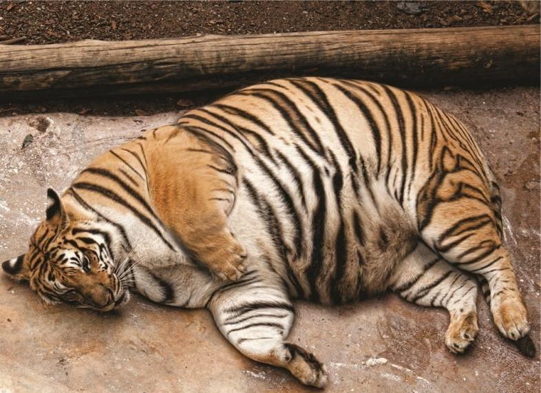 Толстые тигры съели беспилотник (видео)
