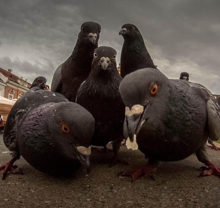 В Канаде нашли доисторических голубей