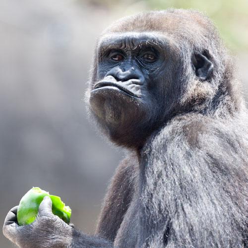 обиженная обезьяна фото
