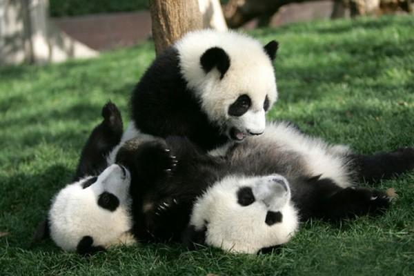 <center><b>Маленькие панды помешали работе уборщицы</center></b>