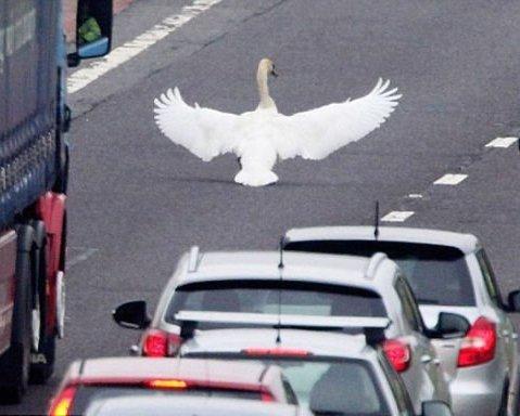 <center><b>В Англии лебедь парализовал движение на улице</center></b>