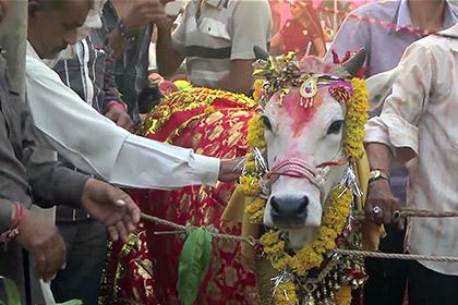 <center><b>Быка и корову поженили в Индии</center></b>
